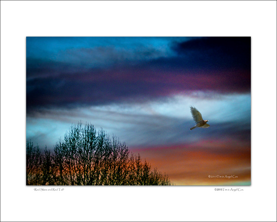RED SKIES RED TAIL HAWK PHOTOGRAPH